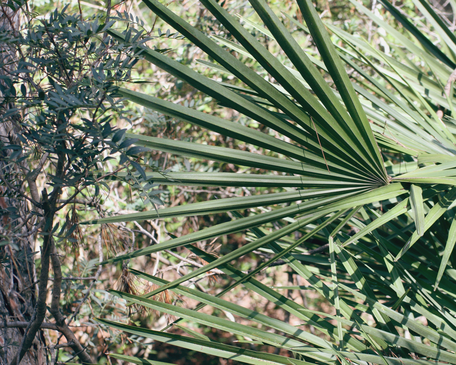 palm margalló